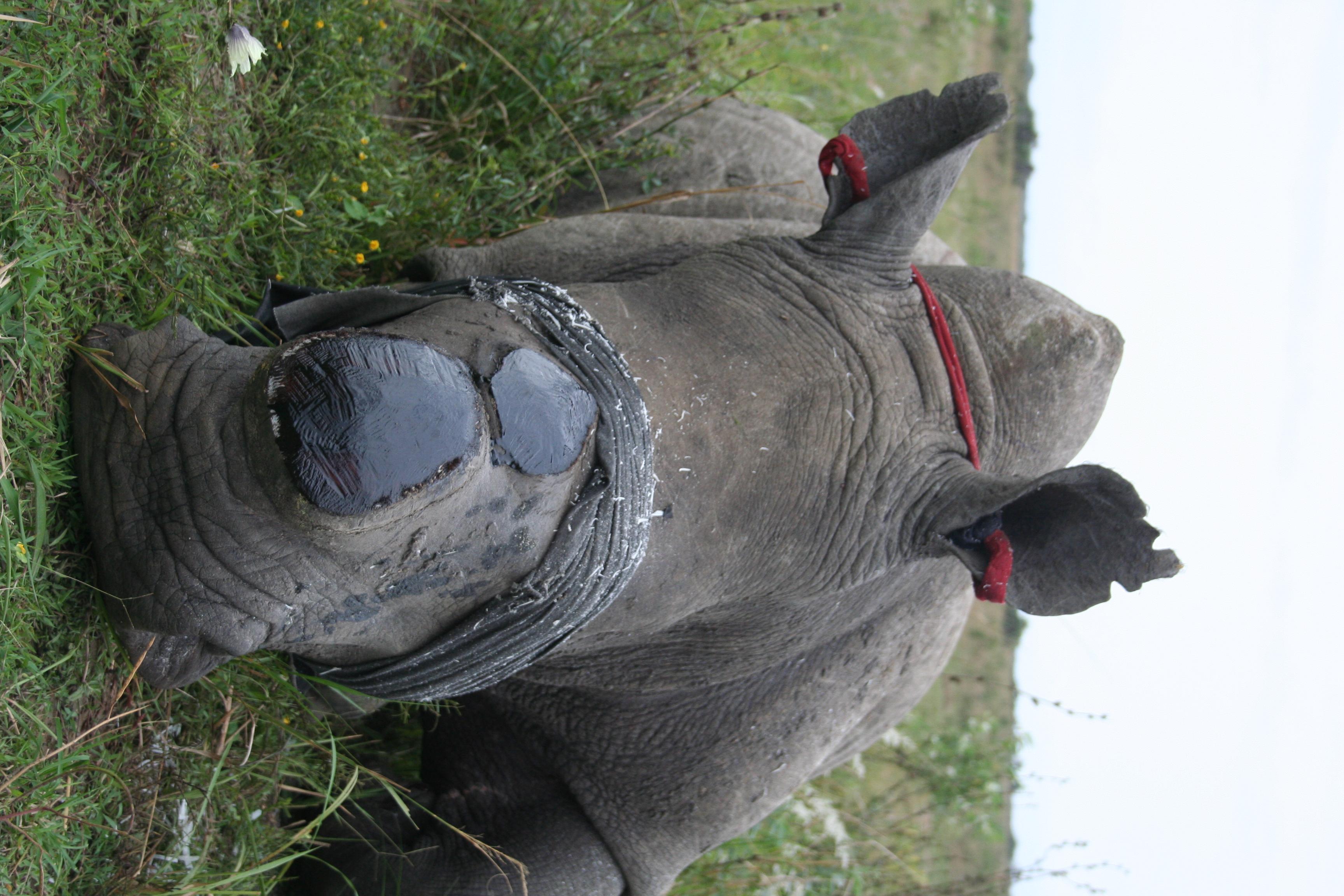 protecting rhino