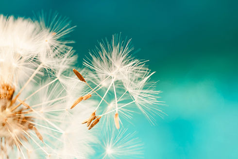 dandelion seeds close up blowing in blue
