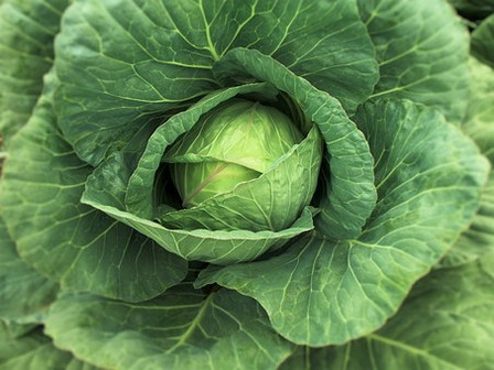 Early Golden Acre Cabbage