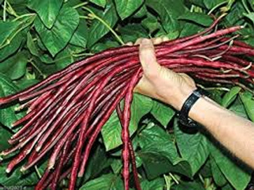 Here is the Red Noodle Yard Long Bean, Vigna sesquipedalis.This bean grows 3 feet long and has a nice pink red color! It is called Red Noodle Yard Long Bean because it looks like a noodle and is quite long. This bean is not the kind of bean you can eat raw but some say you can.The beans develop fast as it grows in lengthfor a bean this size! They are good producers and are very hardy plants. This variety is best grown buy its self and not with other beans as they need all the sunlight they can get. Vines can get to over 20 feet long and love to climb fences. They make a great drying bean and go good in soups!Open pollinated 65 days.