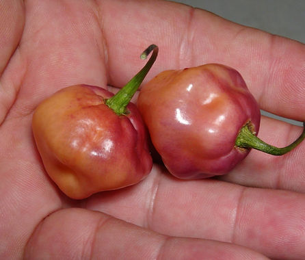 """Here is the Fidalgo Roxa Pepper, Capsicum Chinense, Scoville units: 10,000 to 15,500 SHU. This peppers originates from Brazil and comes from a small family of peppers called """"Roxa"""". This rare roxa pepper variety is quite tasty and is used quite a bit throughout many countries in south america mostly Brazil. Pods start out purple in color then turn peach in color with an overtone of purple on peach when fully ripe and get to .75 to 1.50 inches round. Plants can get to 3+ feet tall and tend to very bushy producing dozens of small little roxa peppers. Pods have an amazing rich fruity flavor when fresh and when dried, they have an amazing flavor too! Tho the heat is not very high, they still have a nice striking burn that last for a while! Excellent for eating fresh, drying and pickling! This is a mid season variety so start early! Open pollinated 70 to 90+ days."""