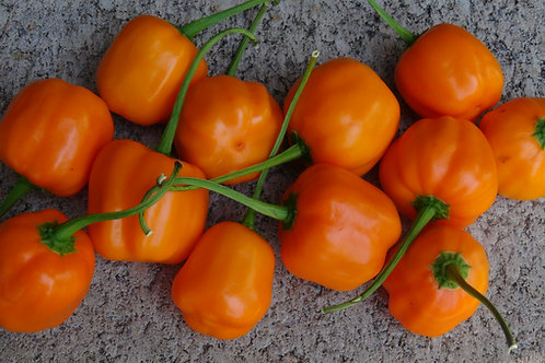 Here is the Ají Calabaza Pepper, Capsicum baccatum, Scoville units: 800 SHU. This pepper was created by Pepperlover in 2014.