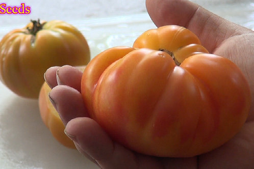 Here is the Pineapple Tomato, Solanum lycopersicum. This tomato originated from the state of Kentucky. It got it's name becau