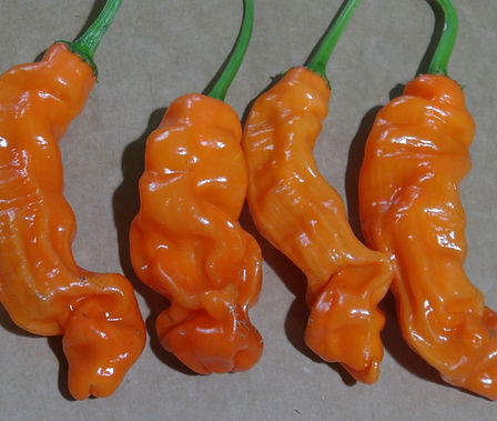 Here is the Orange Peter Pepper, Capsicum annuum var. annuum, Scoville units: 25,000 ~ 80,000 SHU. There are 3 known variations of the Peter Pepper, Red Yellow and Orange. This listing is for the orange version. The Orange Peter Peppers origin is unknown although it's commonly grown in East Texas and Louisiana. It is a type of Capsicum annuum, but it is not officially recognized as a cultivar of the species. One plant can produce dozens of peppers. This plant can reach 4 feet tall and really spread out wide. You can Grow it as an ornamental, or in the vegetable garden, or both! Open pollinated, 85 days.