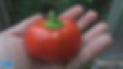 Topepo rosso pepper