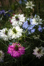 Love in the Mist,Nigella damascena,is an annual garden flowering plant. The plant's common name comes from the flower being nestled in a ring of multifid, lacy bracts. blooming in early summer, are most commonly different shades of blue, but can be white, pink, or pale purple. This easily grown plant has been a familiar subject in English cottage gardens since Elizabethan times. Open pollinated 45 70 days