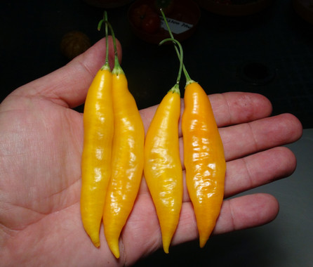 Here is the Aji Challuaruro Amarillo Pepper, Capsicum baccatum var. pendulum, Scoville units: 500 to 2,000 SHU. This wild pepper originates from the highlands of Peru but is cultivated and sold in the street markets. It is a C. pendulum pepper with pods getting 4 inches long and smooth skinned. Pods start out bone in color with patches of purple then turn to a deep yellow color when fully ripe. Plants can get to 5+ feet tall and tend to be a large plants but if pruned they tend to stay small like 3 feet tall. Pods have an amazing baccatum flavor with a very nice smooth crunchy sweetness that is very satisfying but some peppers may be very hot! These make a great grilling pepper especially for frying and hold up well on the grill and also great for pickling, drying and fresh eating too! Open pollinated 70 to 90 days.