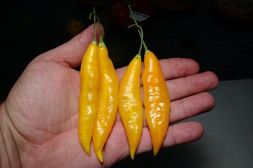 Here is the Aji Challuaruro Amarillo Pepper, Capsicum baccatum var. pendulum, Scoville units: 500 to 2,000 SHU. This wild pep