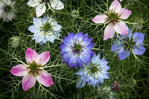 Love in the Mist,Nigella damascena,is an annual garden flowering plant. The plant's common name comes from the flower being