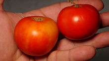 Here is the Versalkie Tomato aka Versaviya Tomato, Solanum lycopersicum. This tomato originates from Russia and was sourced from gene banks in Canada. The fruits are a campari sized and shaped tomato with a deep orange skin and orange to red flesh inside that gets to about 2.25 inches round and weighting around 3 oz. The thing about this variety is the variations in sizes of the fruits! Plants can get to 5 feet tall in really good soil but plants tend to get to 4 feet tall. It is considered a commercial variety in Russia. Great for salads, eating fresh and for tomato sauce and paste! Open pollinated semi-determinate regular leaf mid season 65-80 days.