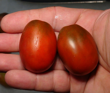 Here is the Black Dragon Tomato , Solanum lycopersicum. The origins of this tomato is unknown at this time. The black Dragon Tomato is well known for the massive fruit production in excess of 50 Lbs per plant if the conditions are right! This one out paces the black Russian tomato by a mile! The fruits are the size of a plum tomato but with a slight pear shape. They are deep orange to brown with green or dark shoulders on top and get to around 2 inches long. Plants can grow to 10 tall and become so heavy with fruit it will snap most staking! They make a great and fantastic sauce but are also great for eating fresh and snacking. Open pollinated. Indeterminate. 65-75 days.