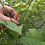 Here is the Pequin Chile Pepper, Capsicum annuum var. glabriusculum, Scoville units: 58,000 SHU. These plants can get to 6 fe