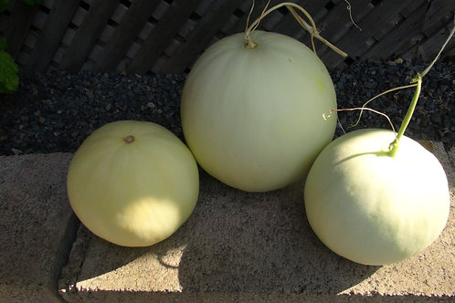 Here is the Honeydew Melon, Cucumis melo. This melon comes from local farms here in NE Pennsylvania. These melons are a local