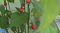 Here is the Piaozinho Pepper, Capsicum chinense, Scoville units: 100,000 ~ 350,000 SHU. This pepper originates from Brazil and has a Top like shape to the fruits with an extremely hot flavorrivaling that of many Habaneros. Fruits have a good, fruity flavor and an interesting combination of sweet and spice that make them popular for hot sauces and eating fresh. Plants get to around 3 feet tall and are very productive and can yield hundreds of pods sized at 1.25 inches long. with well over a hundred peppers per plant! Great for containers and small spaces. Open pollinated75 days.