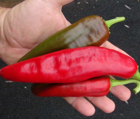 Here is the Lunca Pepper, Capsicum annuum, Scoville units: 000 SHU. This sweet pepper originates from the Lunca regions of Romania and is widely used across the country. They can get as long as 10 inches and have a very rich peppery flavor. Fruits have a medium thick wall and turn from green to red when ripe. Plants are very productive reaching 30 inches tall with a stocky and thick plant. They can produce dozens of fruits per plant! Can be eaten green or red works great for any frying dish but really good roasted with sea food dishes. Open Pollinated, 75 days from transplanting.