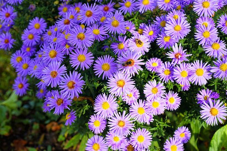 Here is the Chinese Aster Crego Mix, Callistephus chinensis, with it's showy blooms feature distinctive curly petals and beautiful colors! A striking addition to beds, borders and bouquets, late summer to frost. Open pollinated 65 70 days.