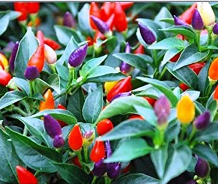 Here is the Bolivian Rainbow Pepper, Capsicum annuum, Scoville units: 30,000 to 50,000 SHU. The Bolivian Rainbow Pepper originates from Bolivia and is considered an Ornamental pepper. These peppers are a beautiful purple, yellow, orange, and red and have a intense heat burn. They are a good producer and have a good shelf life once picked and make a good dried powder. They are about 1 inch long and produce dozens of colorful peppers! They tend to be early but best to pick the first few off before they ripen for a larger fall harvest. Plants get to 3 feet but can get bigger in full sun. Open pollinated, 75 days.