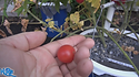 The Wild pink cherry tomato, Solanum lycopersicon humboldtii, is a very heavy producer with a super sweet taste. This indeterminate, regular-leaf tomato will make up to 10 tomatoes on each bract! Plants can get quite huge, so make sure to steak them well. We are very excited to bring this new variety to you. Watch the video and see how i rate this tomato. Open pollinated. Indeterminate. 65-75 days.