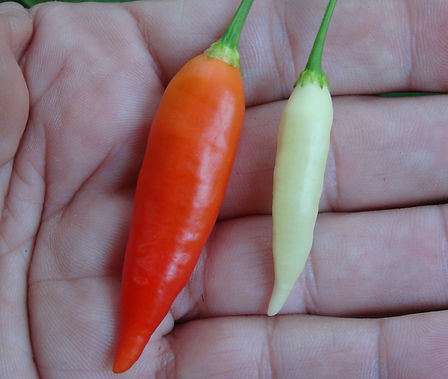Here is the Aji Omnicolor Pepper, PI 215739, CGN 22141, Capsicum baccatum, Scoville units: 30,000 to 50,000 SHU. This pepper originates from Peru. It is an ornamental variety that is edible an quite tasty. Pods start out bone or white in color then turn orange and finally to a deep dark orange or red color when fully ripe. Plants can get to 3 feet tall but they get wider more then tall getting to as wide as 4 feet and produce hundreds of fruits per plant. Pods have an amazing baccatum flavor with a very nice glowing burn that don't go away very fast! Even tho this pepper is rated very high on the scoville scale we feel it is much lower in heat more like a cayenne but with the taste of a baccatum. Excellent for drying and making ristras! Open pollinated 78 days.