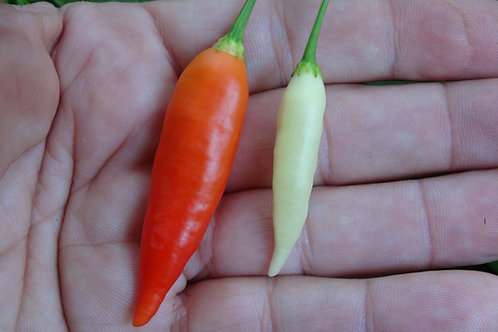 Here is the Aji Omnicolor Pepper, PI 215739, CGN 22141, Capsicum baccatum, Scoville units: 30,000 to 50,000 SHU. This pepper