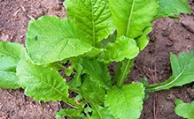 Root crops like Beets, Parsnips, Rutabaga, Scorzonera and Turnips are good and fun to grow for all gardeners of all ages. They are a good source of fiber and starch and needed in our daily lives and are sometimes expensive when fresh in the supermarket! So growing these root crops is a wise move when you are crunching the budget. HRSeeds.com offers you a good variety of rooted vegetables to choose from. Beets, Parsnips, Rutabaga, Scorzonera, Turnips Hollow Crown Parsnip, Pastinaca sativa, turnip, beet, rutabaga, parsnip, harris model parsnip, parsnip seeds, Scarlet Queen Turnip, Baby Bunch Turnip, White Lady Turnip, Gold Ball Turnip, Manchester Market Turnip, Tokyo Cross Turnip, White Egg Turnip, Red Round Turnip, Gilfeather Turnip, Seven Top Turnip, Topper, Royal Crown Turnip, Hidabeni Turnip, Orange Jelly Turnip, Top Star Turnip, Hinona Kabu turnip, Nozawana turnip, Komachi turnip, Detroit Dark Red beet, Burpee's Golden beet, Moulin Rouge beet, Albino beet, Chioggia beet, Cylindra be
