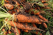 Here is the Scarlet Nantes Carrot,Daucus carota. It is a medium orange carrot root with anaverage size of 6 inches in length and 1 to 1.5 inches in diameter. It was first developed in France in 1850's and has sparse foliage with a cylindrical and shortblunt tip. They are brittle but crunchy andhigh in sugar. Theydon't store as well in the open as other verities but are much better when freezing them. Nantes is a great tasting, tender but crisp carrot witch make a great juicing carrot and is our top choice for juicing. Open pollinated 60 to 70 days for root harvest and 2 years for seeds.