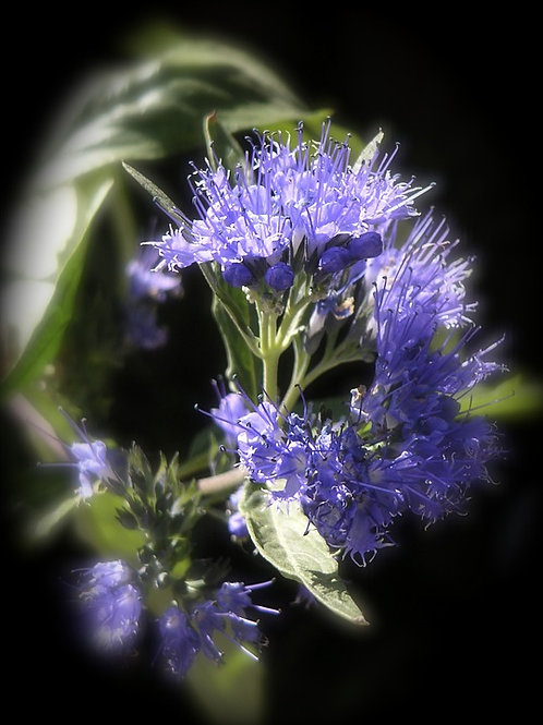 Blue Hyssop,Hyssopus officinalis is native to Southern Europe has properties as an antiseptic, cough reliever, and expectora