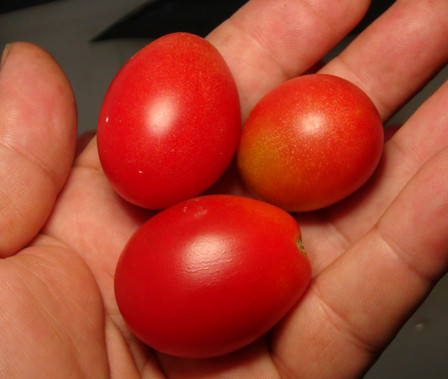 Here is the Little Pearl Tomato, Solanum lycopersicum. This tomato is said to originate from Japan and was acquired from Bunny Hop Seeds 2019. The fruits are a small grape type with a deep pink skin and pink flesh inside that gets to about .75 inches long and weighting around .4 oz. The thing about this variety is the fruits seem to have a longer table life! Plants can get to 4 feet tall in really good soil but plants tend to get to 3 feet tall. Great for salads, slicing and for tomato sauce! Open pollinated indeterminate regular leaf mid season 55-75 days.