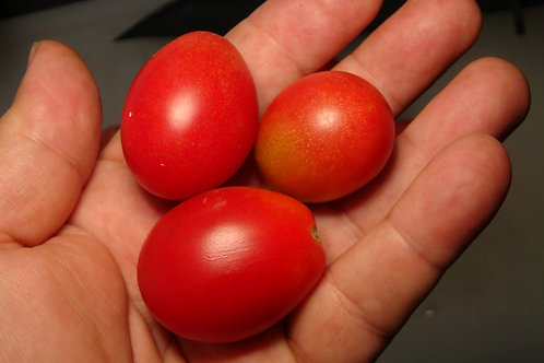 Here is the Little Pearl Tomato, Solanum lycopersicum. This tomato is said to originate from Japan and was acquired from Bunn