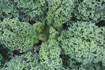 Blue Scotch Curled kale