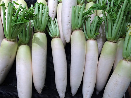 Here is the Daikon Radish,Raphanus sativus var. Longipinnatus. It is a mild flavored winter radish, Raphanus sativus usually characterized by fast-growing leaves and a long, white, napiform root. Originally native to Southeast or continental East Asia.This varieties grows well at lower elevations. Daikon that has been shredded and driedis calledkiriboshi-daikon. Roots can get to 10 inches long and are white sometime with light green tops when above ground. Plants can reach 5 feet tall if left out for second year for seed. It is a great choice for eating as sprouts. Open pollinated, 40 to 60 days or 2 years for seeds.