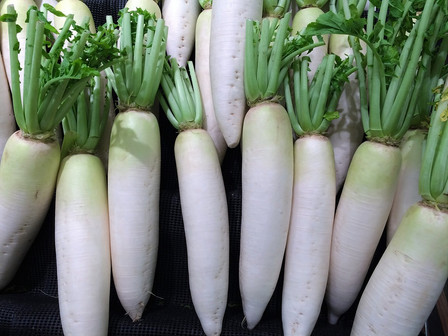 Here is the Daikon Radish, Raphanus sativus var. Longipinnatus. It is a mild flavored winter radish, Raphanus sativus usually characterized by fast-growing leaves and a long, white, napiform root. Originally native to Southeast or continental East Asia. This varieties grows well at lower elevations. Daikon that has been shredded and dried is called kiriboshi-daikon. Roots can get to 10 inches long and are white sometime with light green tops when above ground. Plants can reach 5 feet tall if left out for second year for seed. It is a great choice for eating as sprouts.  Open pollinated, 40  to 60 days or 2 years for seeds.