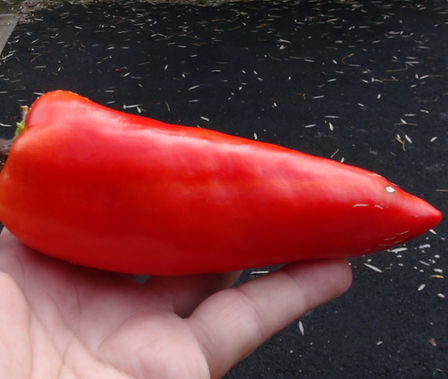 Here is the Sulu Adana Pepper, Capsicum annuum, Scoville Units: 000 ~ 1,000 SHU. This pepper originates from the city of Adana in the country of Turkey. The plants are very short almost dwarf like not getting to much bigger then 18 inches tall but bushy and stocky.Even though this is a short and compact plant, it is a good producer. Fruits can get to 8+ inches long and taper to a point. These peppers are generally sweet but sometimes have heat averaging 500 shu. Fruits go from a bone color then turn to a deep orange almost red color when ripe. Peppers can take a while to ripen. We found this variety to be really good for stuffing and roasting. Open pollinated 80 days from transplant.
