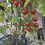Here is the Sweet million tomato, Solanum lycopersicum, This indeterminate, regular-leaf cherry tomato is a Disease Resistanc