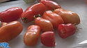 Here is the Opalka Tomato, Solanum lycopersicum, This is a indeterminate, regular leaf bi-color paste tomato and is from Poland. It is a pendent type tomato with a very thick and meaty tomato flesh and a good producer. Very similar to the san marzano tomato not much is known about this tomato. Open pollinated. Indeterminate. 50-70 days.