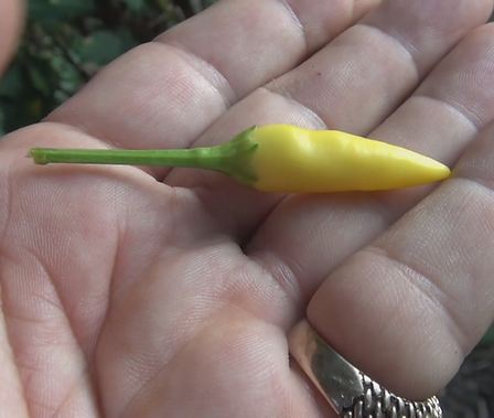 Here is the Goldfinger Pepper, Capsicum Annuum, Scoville units: about 5,000 SHU. Origin unknown. This Ornamental Pepper is edible. It is a compact and bushy plant with bright yellow upright pods. The pepper plant in this video is about 1 years old already. Plants get to around 30 inches tall and quite bushy. Looks really good in front yard garden beds. One plant can produce dozens of peppers. Grow as an ornamental and bring it in for the winter or just grow it in the vegetable garden, or both! Open pollinated 65 days.