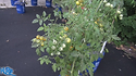The Gobstopper tomato, Solanum lycopersicum, is a indeterminate, regular-leaf tomato and is one of the nicest snacking tomatoes ever! It will produce greenish yellow cherry sized tomatoes. Each bract can hold as many as 12 tomatoes! very heavy producer. We are very excited to bring this variety to you. Watch the video and see how i rate this tomato. Open pollinated. Indeterminate. 65-75 days.
