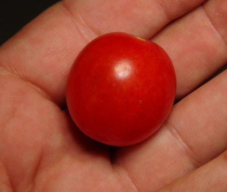 Here is the Vnuchok Tomato, Solanum lycopersicum. This tomato originates from Russia and is a hanging basket variety. It is a slightly oblong cherry sized tomato that has a orange skin and orange flesh inside getting to about 1.25 inches round and weighting around 1.6 oz and resistant to cracking even in heavy rain fall. The thing about this variety is huge clusters of fruit on multi flora bracts! Plants can get to 6+ feet tall in really good soil but plants tend to get to 5 feet tall. The fully ripened fruits will have a deep orange color to them with a tangy but sweet flavor. Great tasting tomatoes for salads, eating fresh and for tomato sauce and paste! Open pollinated determinate regular leaf mid season 55-77 days. Visit HRSeeds.com today for all your tomato seeds!