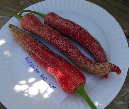 """Here is the Albanian Red Hot Pepper, Capsicum annuum, Scoville units: 50,000+ SHU. It originates from Albania and is another rare embroidered pepper with a lot of corking, such as Vezena Piperka and farmers Market Jalapeño but this one is both huge and hot. These types of peppers are referred to as """"Embroidered"""" or """"Corked"""" peppers. Aci kirmizi Arnavut = Albanian Red Hot in Turkish where it is also widely used. Open pollinated 60 days."""