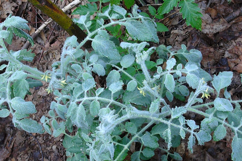 Here is the Fuzzy Wuzzy Tomato , Solanum lycopersicum. This tomato originates from Decorah Iowa, USA and created and/or offer