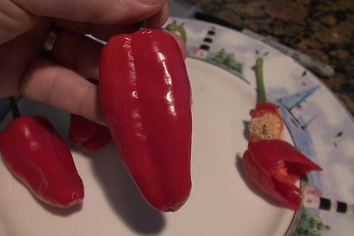 Here is the Leutschauer Paprika Pepper, Capsicum annuum, Scoville units: 1,000 ~ 2500 SHU. This pepper originates from Leutsc