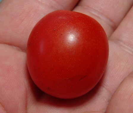 Here is the Kazachka Cherry Tomato, Solanum lycopersicum. This tomato originates from the country of Russia. It is considered a commercial tomato and Lee Goodwin of J&L Gardens Seeds obtained the seeds through an offer from Dr. Carolyn Male. The fruits are a cherry type with a dark purple skin and dark purple flesh inside that gets to about 2 inch round and weighting around 2 oz. The thing about this variety is the variations in the sizes of the fruits. Plants can get to 5 feet tall in really good soil but plants tend to get to 3.5 feet tall. Great for salads, slicing and for tomato sauce! Open pollinated Indeterminate regular leaf 72-78 days.