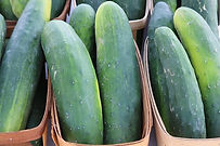"""The Straight Eight Cucumber, Cucumis sativus, Was a All-America winner in 1935 for an heirloom cucumber variety. It gets it's name for getting to 8"""" long very consistently! It's a smooth skin most of the time a dark color but sometimes can be lighter in color. It is the NO. 1 choice for super markets for their long shelf life. open pollinated 65 days"""
