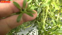 Here is the Purslane Plant, Portulaca oleracea! This plant is in the Portulacaceae family. It is a succulent type plant that very much looks like a weed. This plant is a very important medicinal and edible plant to know about! Tho this plant may NOT be an invasive specie it can become a major problem if you let it go and is considered a weed! The seeds from this plant can be a bit of trouble to collect but you can make it easy to collect seed as i show in the video below! Every part of the plant can be eaten and taste a little like lettuce. Plants can get to 3 feet wide and sprawl out along the ground. We recommend growing it in pots and let it hang down. Cold hardy, open pollinated 30 to 60 days. Never eat a plant you can't fully identify!