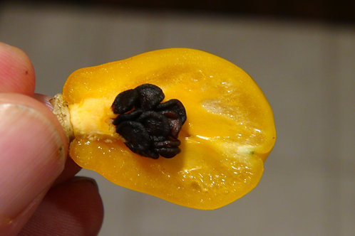 Here is the Rocoto Guatemalan Orange Pepper, Capsicum Pubescens, Scoville units: 10,000 to 65,000+ SHU. This Pepper originate