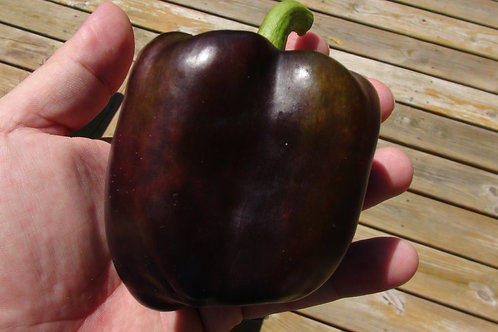 Here is the Purple Beauty Bell Pepper, Capsicum annuum, Scoville units: 000 SHU. This absolutely stunning purple bell pepper