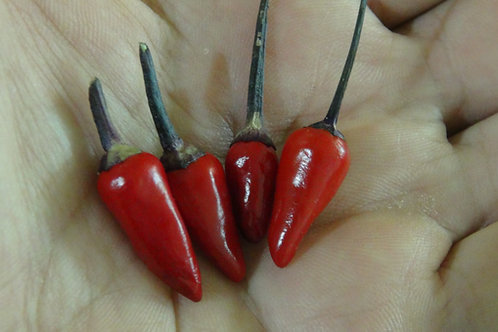 Here is the Explosive Ember Pepper, Capsicum annuum, Scoville units: 30,000 to 50,000 SHU. This pepper is from the longum gro