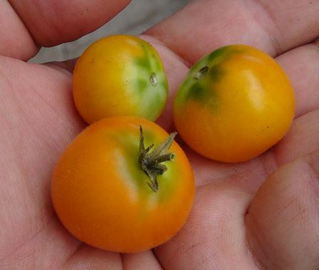 "Here is the Floragold Basket (Micro Dwarf) Tomato, Solanum lycopersicum. This tomato was Bred and created by the University of Florida, USA. The tomato is known as a Micro Dwarf variety. The plants don't get much bigger then 6 inches tall and produces these 3/4 inch dark yellow or orange tomatoes. This variety is classified as a ""determinate"" type but we found that with regular pruning and good maintenance, the plants can live for years in small pots! The fruits are very tasty and sweet! Open pollinated. determinate regular leaf early season 45 to forever days."