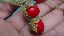 Litchi Tomato (4).JPG