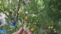 The Barry's crazy cherry tomato, Solanum lycopersicum, Is a indeterminate, regular-leaf cherry tomato. It is one of the nicest elongated cherry tomatoes ever! It will produce clusters of tomatoes. Makes good sized tomatoes. Each bract can hold as many as 24 tomatoes! very good producer. Watch the video and see how i rate this tomato. Open pollinated. Indeterminate. 50-70 days.